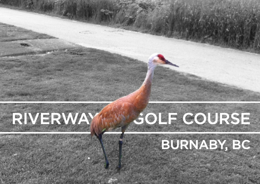 Riverway Golf Course - golfing with a sandhill crane golf header